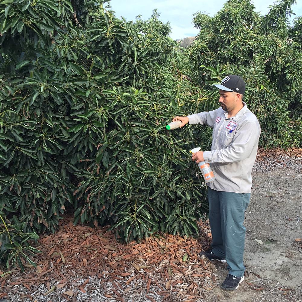 Liberation of Californicus mites on avocado trees
