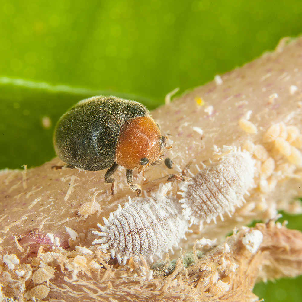 mealybug destroyer supplier