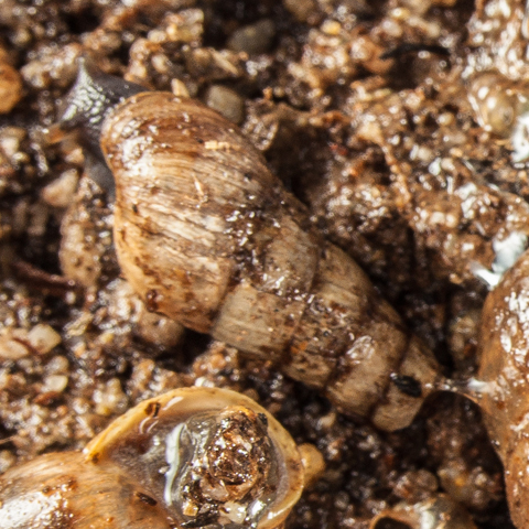 Rumina decollata is a predacious snail that feeds on its own cousin. The Decollate snail is smaller than the garden snail and has a cone shaped shell.