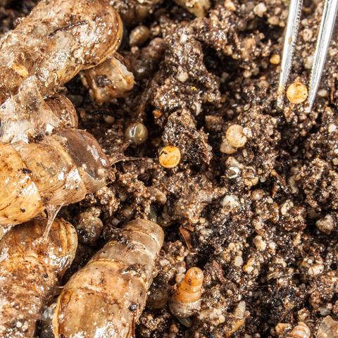 Rumina decollata controls brown garden snails