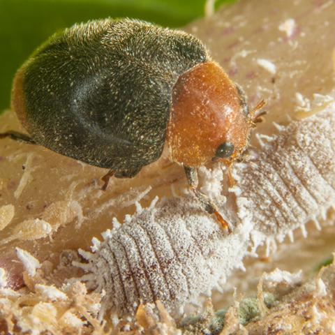 Mealybug Destroyer Beetle