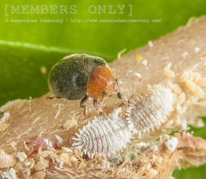 Mealybug Destroyer Beetle